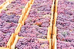 noticia Colheita de uvas movimenta a agricultura de Louveira